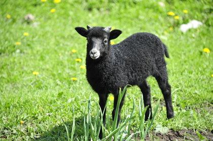 Haidšnukes jeb vācu purva aitas